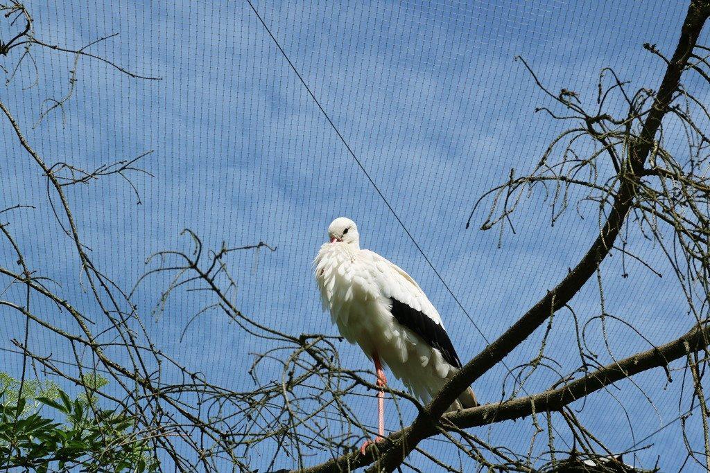 Kullakeks - Wisentgehege Springe - Rudeltage - Storch