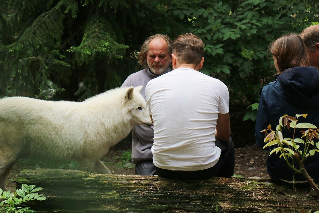 Kullakeks - Wisentgehege Springe - Rudeltage - Wölfe - Wolfgehege
